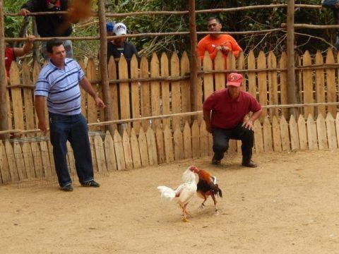 Cuba Vinales combat de coqs