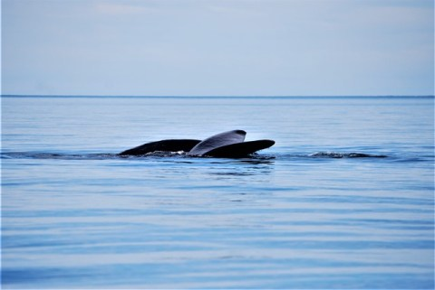 Argentine Péninsule Valdès baleines franches