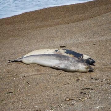 Argentine Péninsule Valdès éléphants de mer