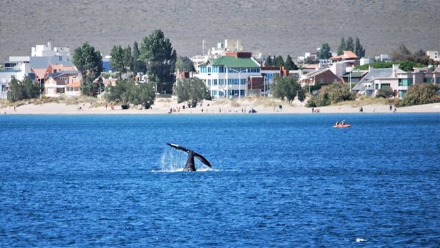 Argentine Puerto Madryn balaine franche