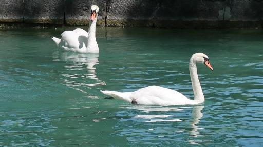 Annecy cygnes