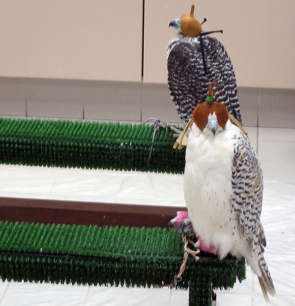 falcon waiting room