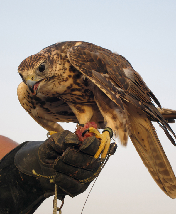 a falconry demonstration at Al Maha Desert Resort