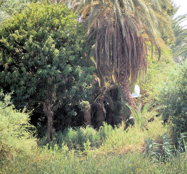 egret flying along the banks of the Nile