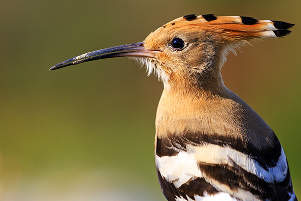 hoopoe, migrating bird