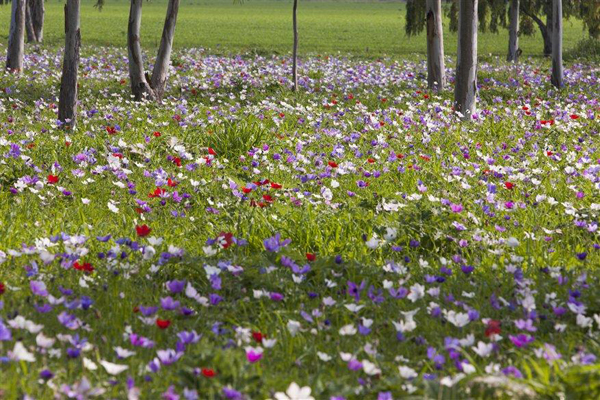 Anemonies in bloom in the Galilee, photo by Itamar Grinberg, courtesy of the Israel Ministry of Tourism