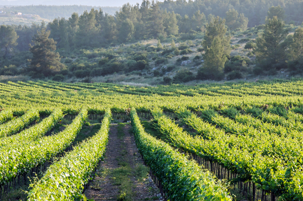 Galilee vineyard