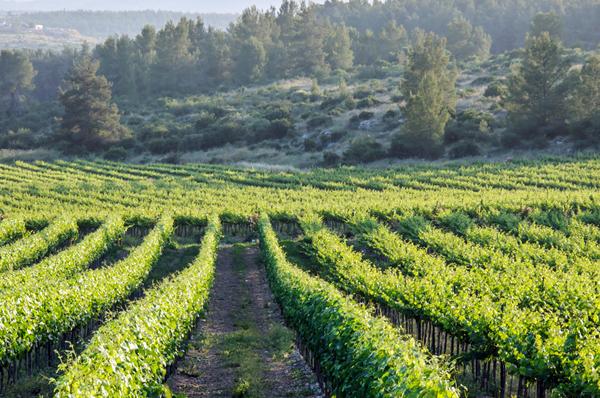 Galilee vineyard