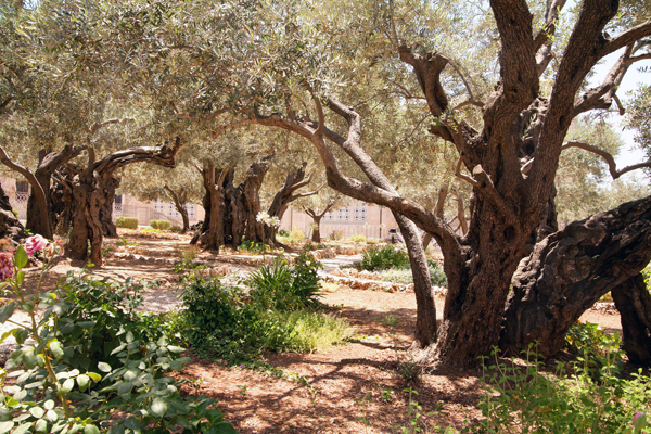 ancient olive trees in the Garden of Gethsemane, Mount of Olives, Jerusalem, photo by Noam Chen, courtesy of Israel Ministry of Tourism