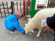 大兔被這隻狡猾的綿羊撞倒,羊食散一地,哭著躲一邊去了。小兔嘗試撿回來。哪這麼容易,這羊擺明就是故意撞的,怎麼可能輕易給你拿走呢?