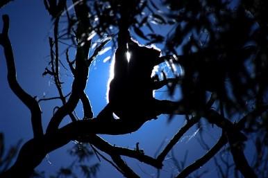 Koala-Yanchep-National-Park-Perth-YPW1.5-V2-TH1