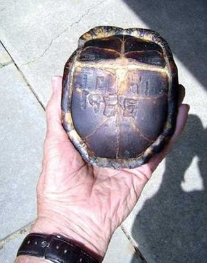 Turtle with initials carved into it surprises man