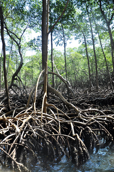 Mangrove, République dominicaine