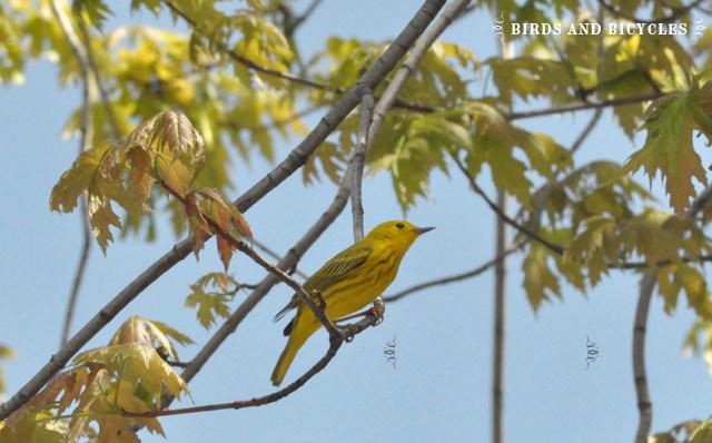 oiseaux du québec (1)
