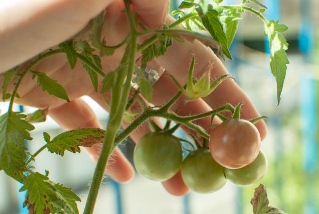 Jardinage urbain: les légumes de balcon