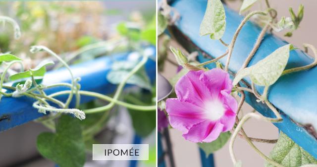 Ipomée fleurs