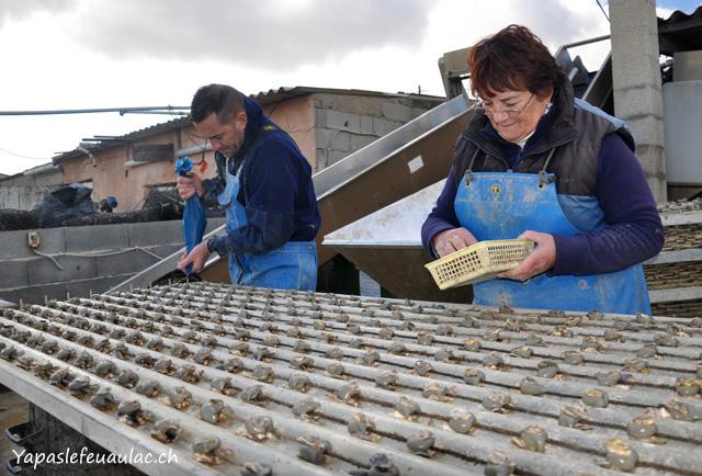 Les huîtres de bouzigues sont collées sur des cordes.