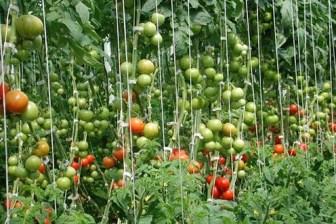 Indeterminate tomato plants