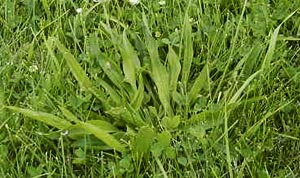 Common Lawn Weeds - Buckhorn/Plantain