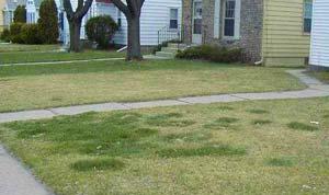 Dog urine grass spots