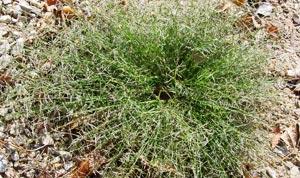 Common Lawn Weeds - Nimblewill