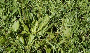 Common Lawn Weeds - Plantain