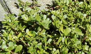 Common Lawn Weeds - Purslane