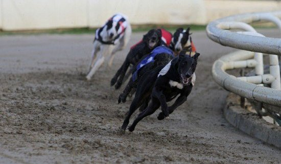 greyhound action at Yarmouth Stadium in the 72nd RPGTV EastAnglian Greyhound derby. (c)Rob Colman