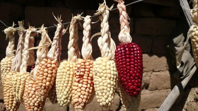 Genetiği değiştirilmiş ürün tarımına dünyanın otuza yakın ülkesinde yasal olarak izin verilirken, otuz beş kadar ülkede bu ürünlerin tarımının yapılması yasak. GDO tarımının yasak olduğu ülkeler listesinde Türkiye ve Rusya'nın yanı sıra ağırlıklı olarak Avrupa ülkeleri yer alıyor. En fazla GDO'lu ürün tarımı yapılan ülkeler arasında ise Amerika'nın ardından sırasıyla; Brezilya, Arjantin, Hindistan, Kanada, Çin geliyor.