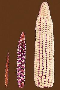 Seçiçi yetiştirmeyle yabani teosinte bitkisi (solda) zaman içinde mısıra dönüşmüştür (sağda). Ortada mısır-teosinte hibriti. (https://tr.wikipedia.org/wiki/Yapay_seçilim)
