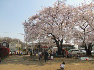 20150330桜満開!