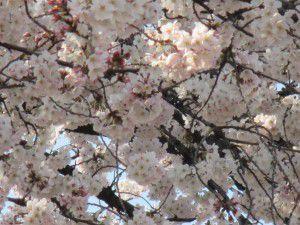 20150330桜満開!2