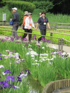 20150615東村山市にある菖蒲園です。5