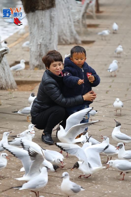 彩雲之南季節限定-昆明翠湖公園紅嘴鷗 @YA !野旅行-吃喝玩樂全都錄