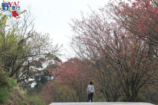 花蓮靜謐賞櫻景點 赤科山櫻花盛開 @YA !野旅行-吃喝玩樂全都錄
