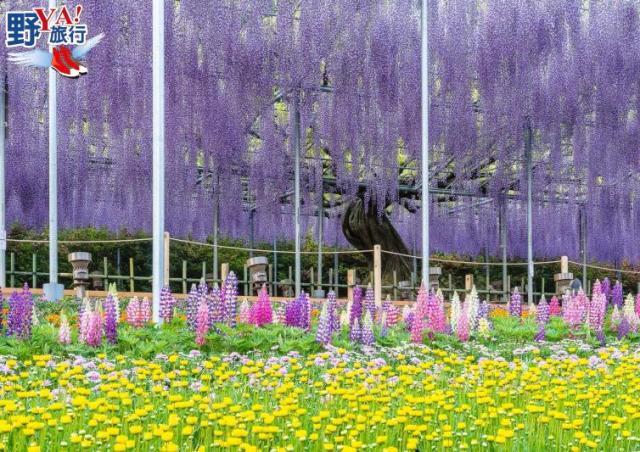 門票越貴越開心 足利花卉公園浪漫紫藤花 @YA !野旅行-吃喝玩樂全都錄