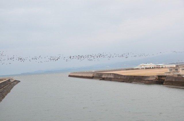 日本│九州 北薩騎單車 遇上萬隻西伯利亞鶴鳥 @YA 野旅行-陪伴您遨遊四海