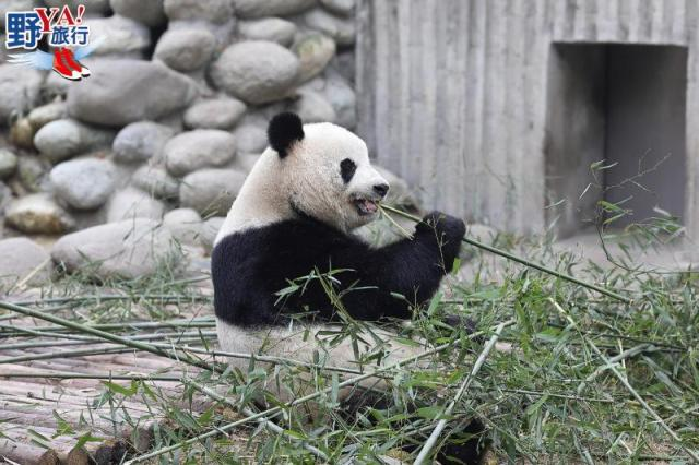 四川|成都 大熊貓基地慢走漫遊 令人羨慕的黑白熊生 @YA !野旅行-吃喝玩樂全都錄