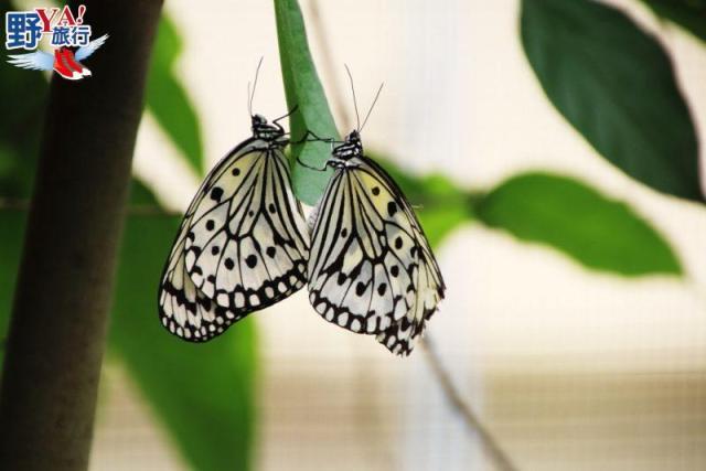 跟著蝴蝶去旅行 春遊客庄,賞蝶賞螢賞桐花 @YA !野旅行-吃喝玩樂全都錄