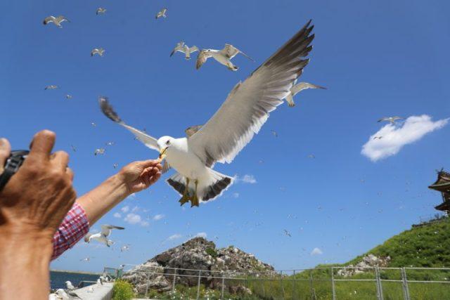 日本青森 種差海岸蕪嶋神社 黑尾鷗滿天飛舞 @YA !野旅行-吃喝玩樂全都錄