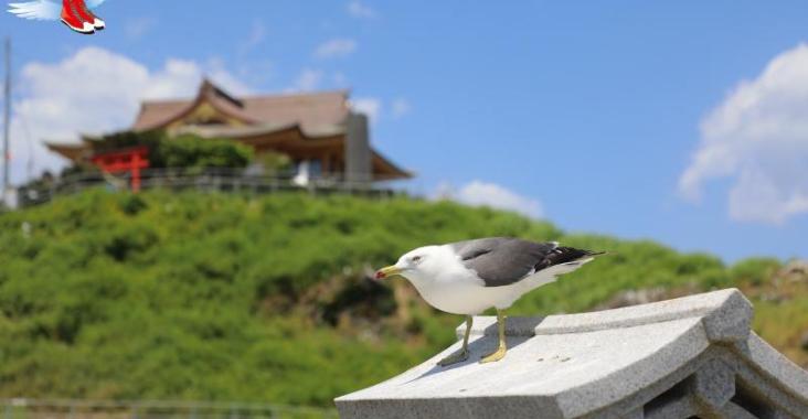 日本青森 種差海岸蕪嶋神社 黑尾鷗滿天飛舞 @YA 野旅行-陪伴您遨遊四海