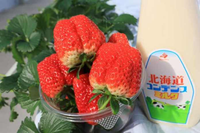 一莓一笑松森農園採果體驗 仙山必去草莓吃到飽 @YA !野旅行-吃喝玩樂全都錄