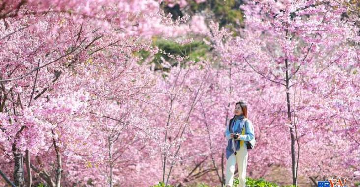 全台最高海拔粉紅秘境 福壽山千櫻園櫻花盛開 @YA !野旅行-玩樂全世界