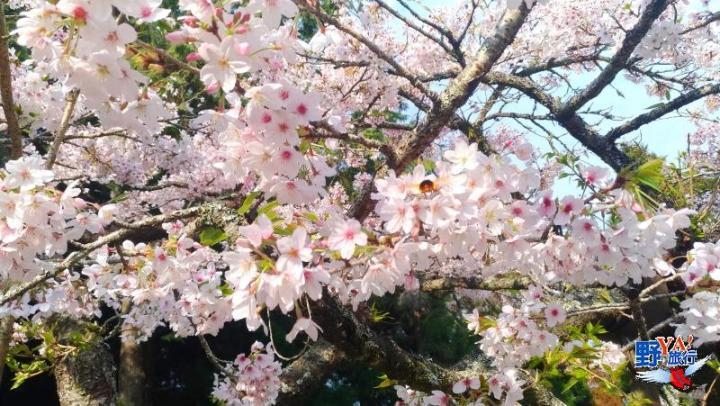 2021阿里山櫻花季 森林式生活現在開始 @YA !野旅行-吃喝玩樂全都錄