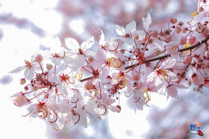 台東鹿鳴酒店平地櫻花季登場 粉紅花旗木盛開超浪漫 @YA !野旅行-玩樂全世界