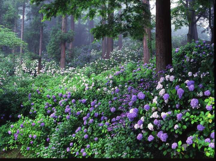 茨城縣「雨引觀音」祈福除厄 繡球花開帶來希望   @YA !野旅行-吃喝玩樂全都錄