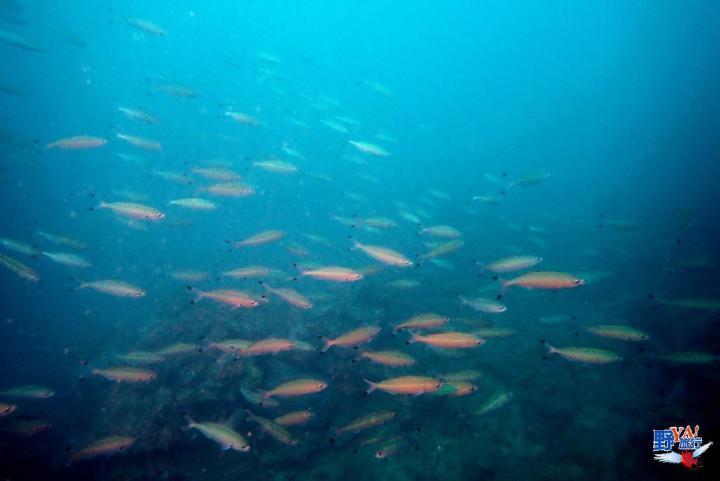 海科發現與研究疫情封閉期潮境保護區海洋生物呈自然修復與快樂時光 @YA !野旅行-吃喝玩樂全都錄