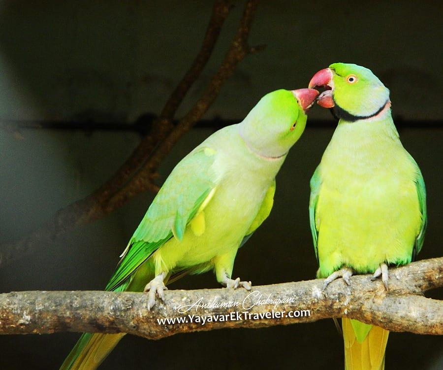 parrot_love
