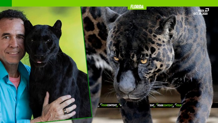 Floridian Pays $150 for 'Full-Contact Experience with Belly Rub' with Black Leopard, Gets Face Mauled