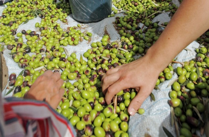 Olive picking in Palestine